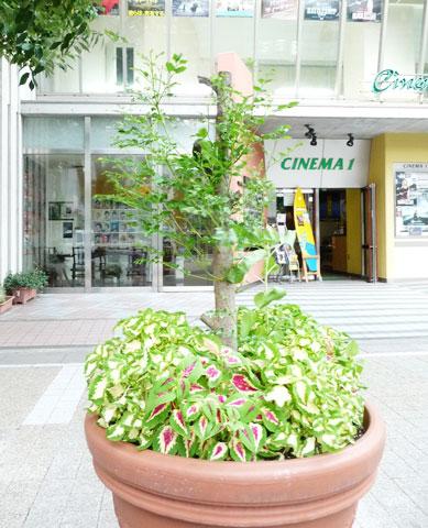 Cinema KOBE(シネマ神戸)さんの前にコンテナの木が生長しました!