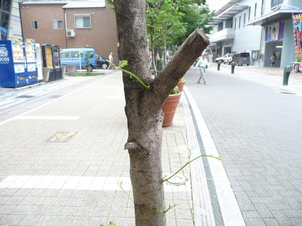 枯れたと思っていた幹から芽がでてきました